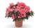 Как ухаживать за цветком Азалия в домашних условиях?