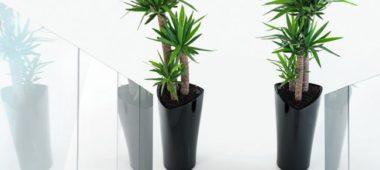 Уход за пальмой «Юкка» в домашних условиях